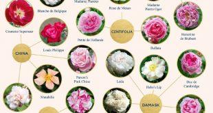 Types of Roses: A Visual Compendium