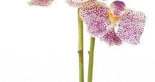 Vanda Silk Orchid Flower with Glass Vase