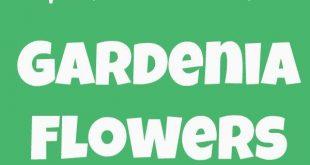 How to Grow Gardenia Flowers
