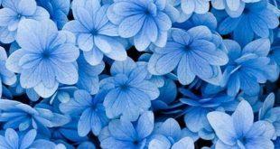 ▷ 1001 + Frühlings-Hintergrundbilder für Ihr Telefon und Ihren Desktop-Computer blue flowers