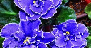 Big Sale 20 Pcs/Lot Variety Of Colors Violet Seeds Garden Plants Violet Flowers Perennial Herb Matthiola Incana Seed Flor Bonsai