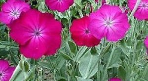 Details about 50+ Rose Campion Lychnis Coronaria Flower Seeds / Perennial