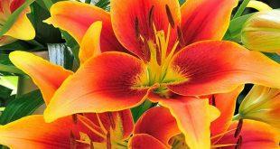 Kaveri® Oriental Asiatic Lily Bulbs