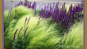 [Oh, what a little purple can do, to compliment ornamental grasses!] Landschaftsgestaltung