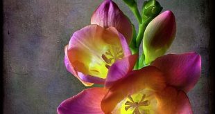 planting the garden that is your life...plant aromatherapy. freesia.