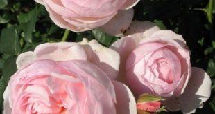 www.claudiasblog.de jede Menge Rosen gibt es auf unserem Blog #Rosen Heritage | ...